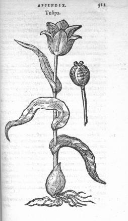 Charles de L'Ecluse. Rariorum aliquot stirpum. Anvers, Plantin, 1576 (Bibliothèque du Muséum d'histoire naturelle de Grenoble)
