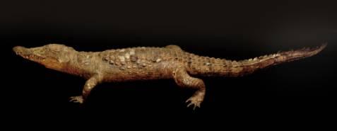 Crocodile du Nil - Collections du Muséum d'histoire naturelle de Grenoble