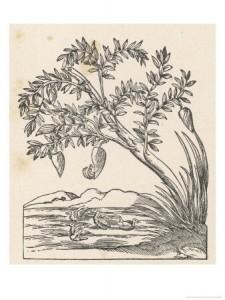 Aldrovandi, Ulisse (1603) Ornithologiae [Tome 3, p. 174]. apud Io. Bapt. Bellagambam.